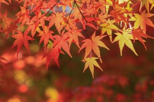 「紅葉(こうよう)」「紅葉(もみじ)」「楓」の違い説明できますか?